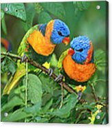 Rainbow Lorikeet Pair Acrylic Print