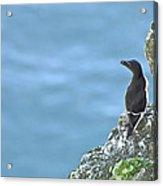 Razorbill Iceland Acrylic Print by Sigurdur Aegisson