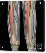 Rectus Femoris Muscles Acrylic Print