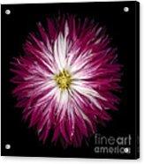 Red And White Dahlia Acrylic Print