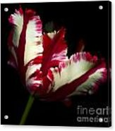 Red And White Parrot Tulip Acrylic Print