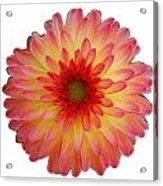 Red And Yellow Dahlia Acrylic Print