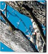 Red-bellied Woodpecker Acrylic Print