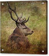 Red Deer  Cervus Elaphus Acrylic Print