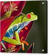 Red Eyed Tree Frog 2 Acrylic Print