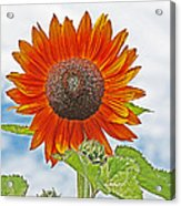 Red Face Sunflower At Olympia Acrylic Print