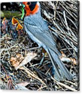 Red-faced Warbler At Nest With Young Acrylic Print