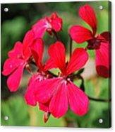 Red Flower Acrylic Print
