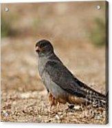 Red Footed Falcon Falco Vespertinus Acrylic Print