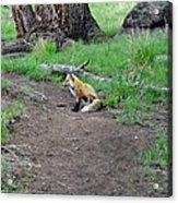 Red Fox In Yellowstone Acrylic Print