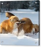 Red Foxes Interacting In Snow Acrylic Print