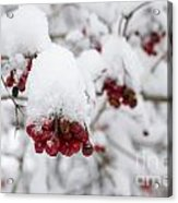 Red Fruit With Snow Acrylic Print