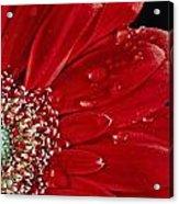 Red Gerbera Acrylic Print