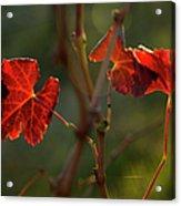 Red Grape Leaves Acrylic Print