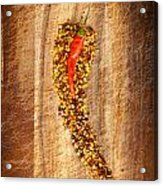 Red Hot Chilli Concept Acrylic Print