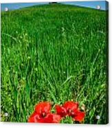 Red Poppies And Oak Acrylic Print
