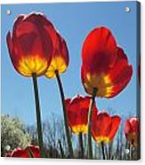 Red Tulips With Blue Sky Background Acrylic Print