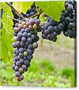 Red Wine Vineyard 2 Acrylic Print