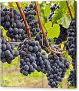Red Wine Vineyard 4 Acrylic Print