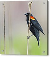 Red-winged Blackbird On Cattail Acrylic Print