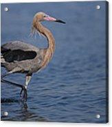 Reddish Egret Wading Texas Acrylic Print