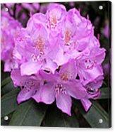 Rhododendron  ' Roseum Elegans ' Acrylic Print