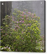 Rhododendron In Del Norte State Park, Ca Acrylic Print