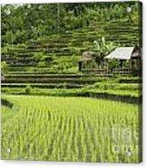 Rice Fields In Bali Indonesia Acrylic Print