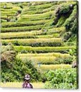 Rice Terraces Acrylic Print