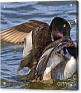 Ring Neck Duck Acrylic Print