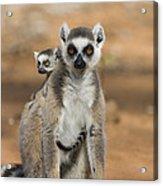 Ring-tailed Lemur And Baby Madagascar Acrylic Print