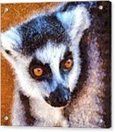 Ring Tailed Lemur Acrylic Print
