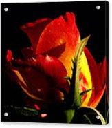 Rising Rose Acrylic Print