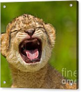 Roaring Practice Acrylic Print by Ashley Vincent