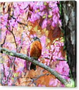 Robin In A Red Bud Tree Acrylic Print