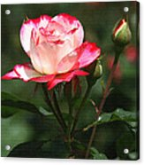 Rose And Bud At Mcc Acrylic Print