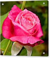 Rose Flower Acrylic Print