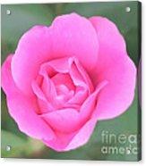 Rose. Acrylic Print by Sylvia  Niklasson