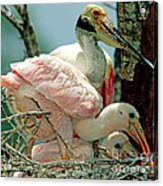 Roseate Spoonbill Adult With Young Acrylic Print