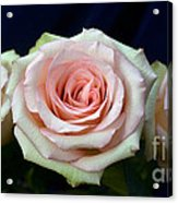 Roses 8405 Acrylic Print