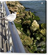 Royal Tern In Florida Acrylic Print
