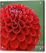Ruby Dew Acrylic Print