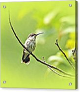 Ruby-throated Hummingbird - Immature Female - Archilochus Colubris  Acrylic Print