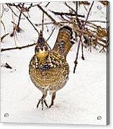 Ruffed Grouse Walking On Snow - Horizontal Acrylic Print