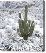 Saguaro Cactus After Rare Desert Acrylic Print