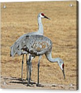 Sand Hill Cranes Eating Acrylic Print