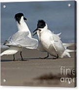 Sandwich Tern Bringing Fish To Its Mate Acrylic Print