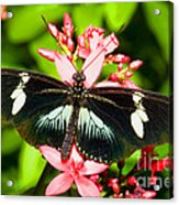 Sapho Longwing Butterfly Acrylic Print