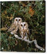 Saw-whet Owls Acrylic Print