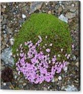 Saxifrage (saxifraga Oppositifolia) Acrylic Print
